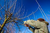 Farmer Is Pruning Branches Of Fruit Trees In Orchard Using Long Loppers At Early Springtime. poster