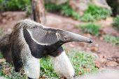 Giant Anteater Walking In The Farm Wildlife Sanctuary / Myrmecophaga Tridactyla poster