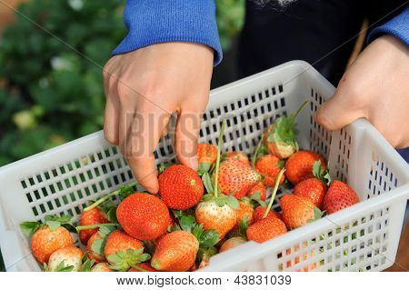strawberries in white plastic punnet