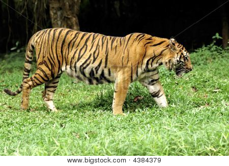 Indonesia ;sumatra Tiger