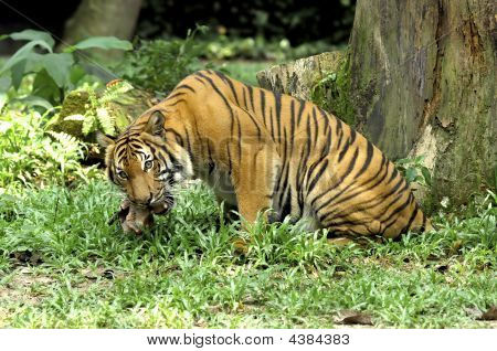 Indonesia; Sumatra Tiger