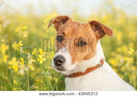 Jack russel no Prado flor