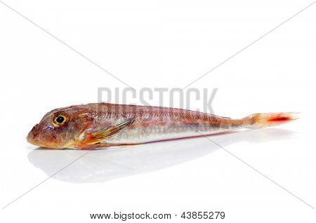 a surmullet or striped red mullet on a white background