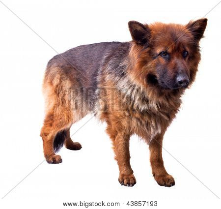 portrait of german sheperd on white background