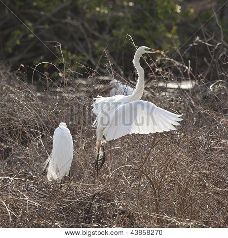 snowy egret with breeding plumage taking flight