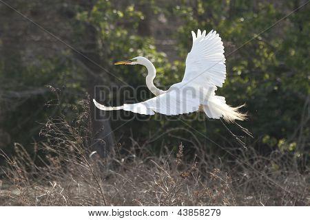 snowy egret flying in breeding plumage