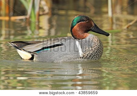 Verde – winged Teal
