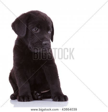 shy labrador retriever puppy dog looking to its side