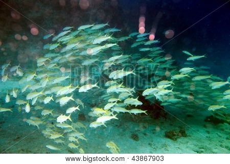 Group coral fish in blue water.