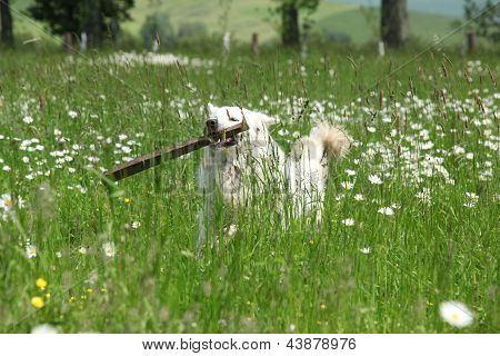 Chuvach eslovaco en flores blancas