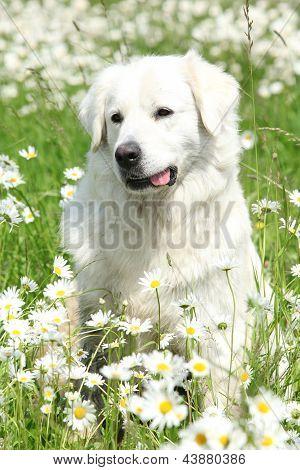 Retrato de Chuvach eslovaco en flores blancas