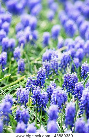 A flower bed of blue common grape hyacinths
