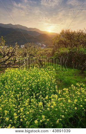 spring sunset over a lush field of oilseed