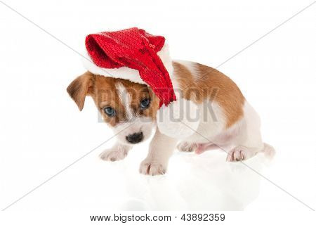 Six weeks old Jack Russel puppy dog as Christmas Santa Claus isolated over white background