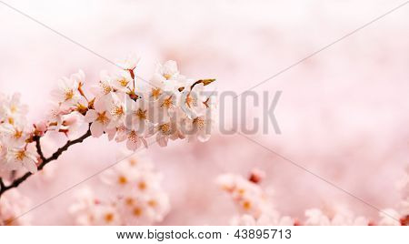 Cherry blossom branch  with beautiful pastel pink background.