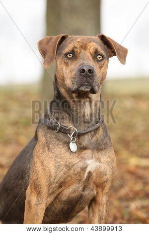 Louisiana Catahoula Dog In Autumn