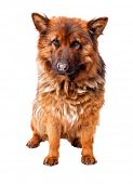 foto of german-sheperd  - portrait of german sheperd on white background - JPG