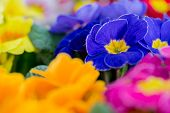 Spring garden, colorful primula flowers