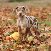 stock photo of catahoula  - Louisiana Catahoula puppy with pumpkins in Autumn - JPG
