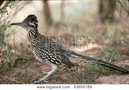 Roadrunner (Geococcyx californianus)