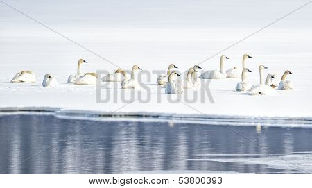 Tundra Swans on Snowy Lake