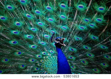 Colorful Angry Peacock
