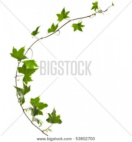 Green ivy plant Hedera helix close up isolated on white background