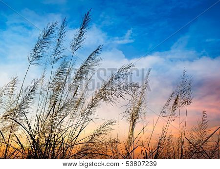 Flowering Of Grass