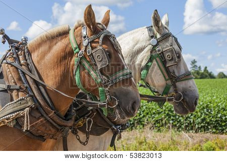 An unmatched team of draft horses in harness on the farm.