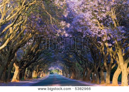 Purple Lane