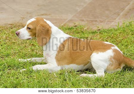 Istrian Shorthaired Hound