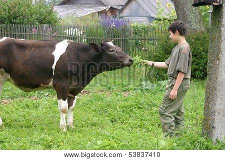 Boy feeding a cow