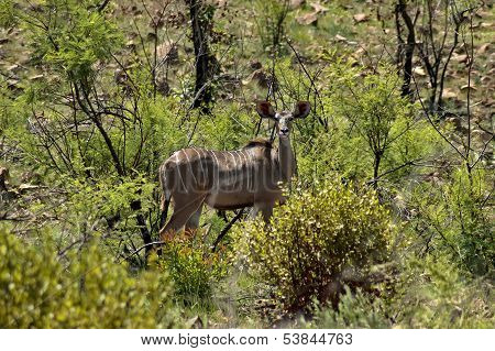 Female kudu antilope