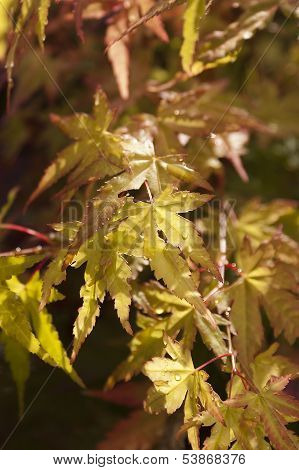 Yellow Japanese Maple