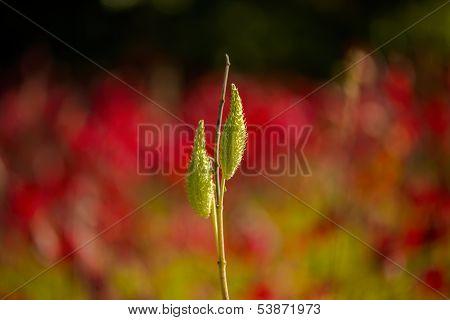 Milkweed Pods, Autumn