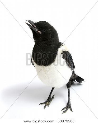 Magpie isolated on white