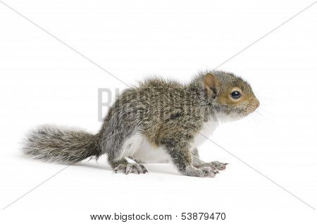 Young Gray Squirrel