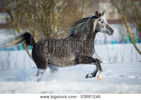 Horse runs in winter, Arabian horse.