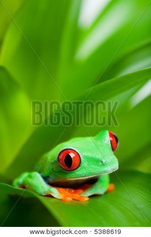 Red-eyed Tree Frog In A Plant