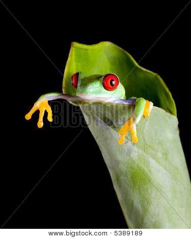 Frog In Banana Leaf