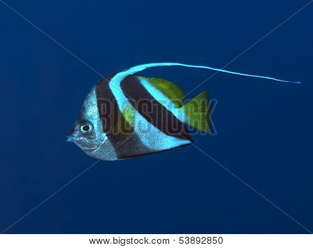 Pennant Coralfish