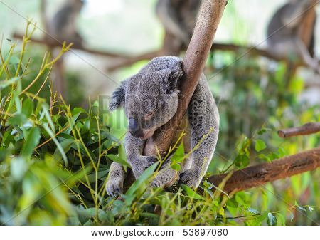 Koala asleep in a tree