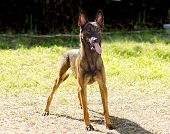 stock photo of belgian shepherd  - A young beautiful black and mahogany crazy looking Belgian Shepherd Dog standing on the lawn sticking its tongue out. Belgian Malinois are working dogs very intelligent and used in military and police.
