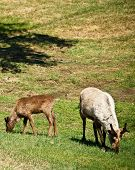 foto of caribou  - Two caribou eat grass at the Large Animal Research Station in Fairbanks - JPG