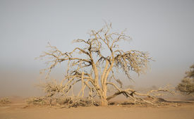 picture of sandstorms  - Sandstorm and acacia tree - JPG