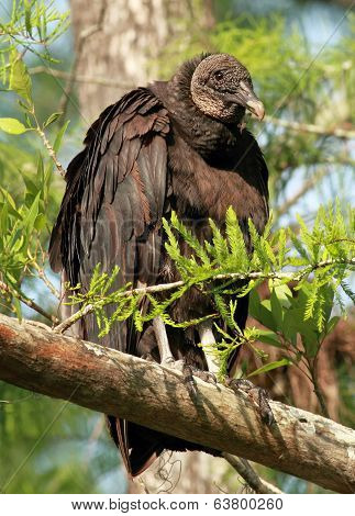Black Vulture in A Tree