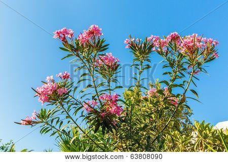 Pink Flowers In Kavros Village,crete,greece.