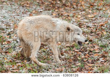 Blonde Wolf (Canis lupus) In Submissive Posture