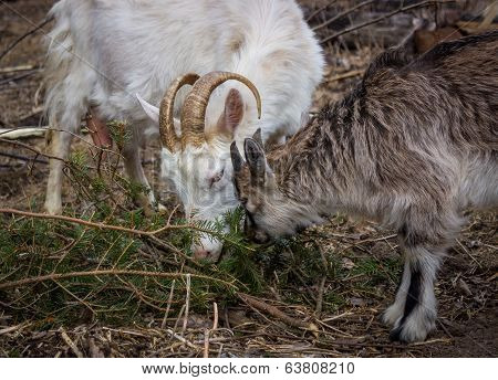 White goat with young goat