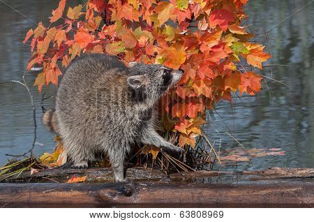 Raccoon (Procyon lotor) Sniffs In Autumn Leaves